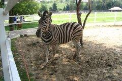 Afrika múzeum - zebra